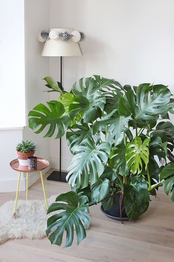 Monstera deliciosa Home Image
